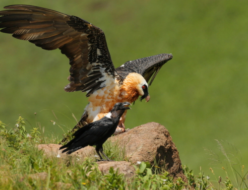 Bearded Vultures at Witsieshoek
